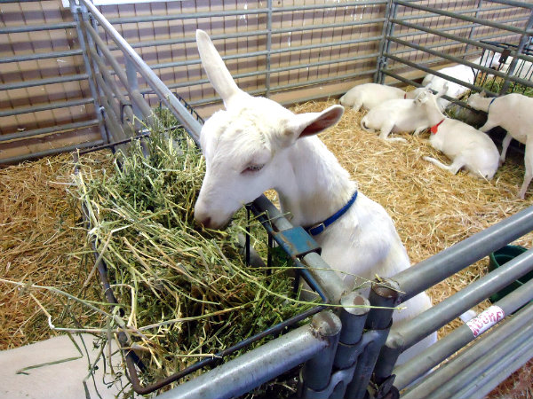 Goat ATG FINAL